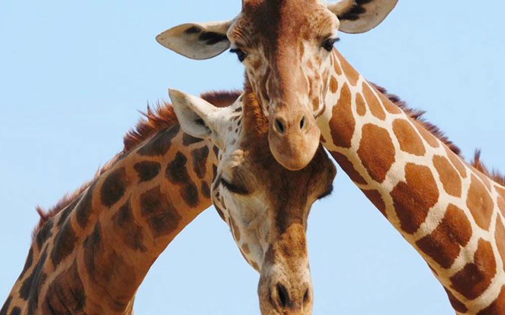 Africa Tour Giraffe